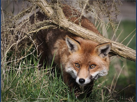 02 Fox In The Undergrowth